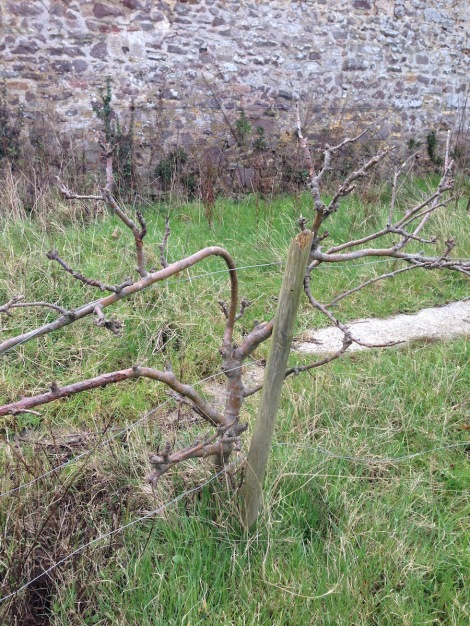 trained fruit trees