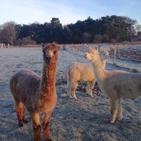 frosty alpacas
