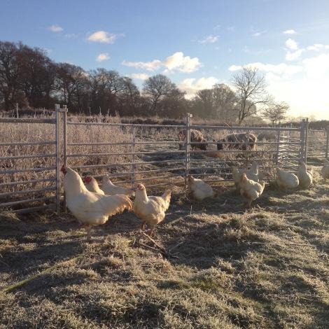 Ixworths and sheep