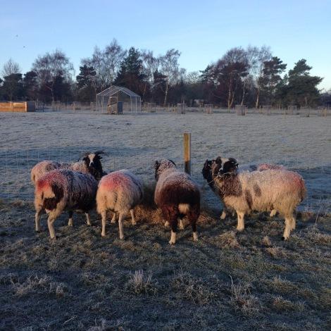 sheep eating hay