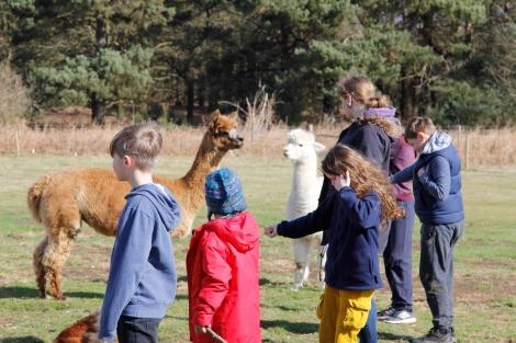 feeding alpacas2.JPG