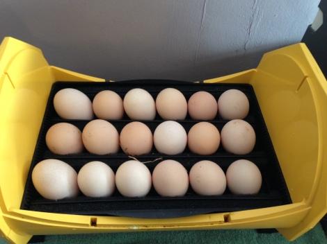 Naked neck Eggs