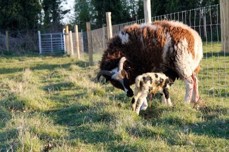 new-lamb.jpg