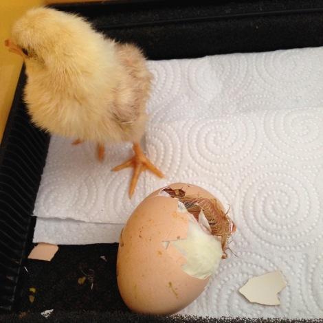 last chick hatching.jpg