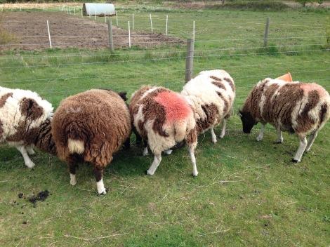 lots of pregnant sheep.jpg