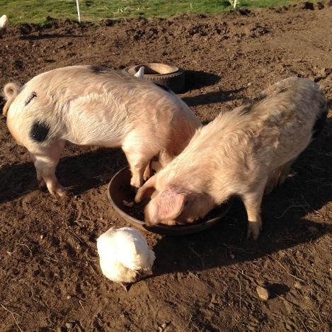 slap-marked pigs.jpg