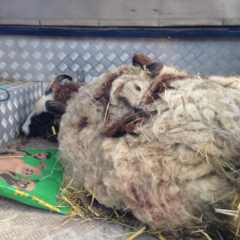 dead sheep2.jpg