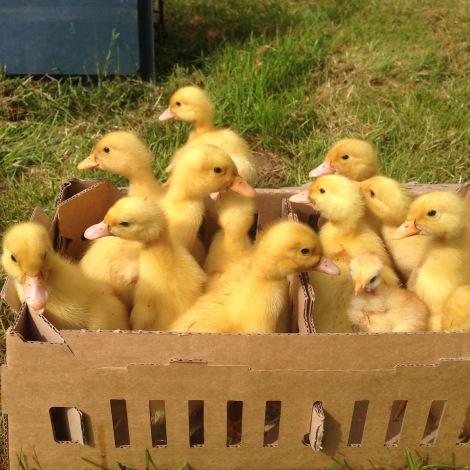 duckling bus