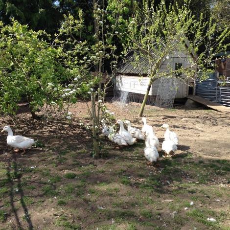 ducklings3.jpg