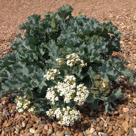 flowering sea kale.jpg