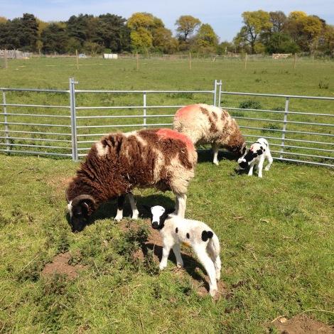 Lambs and Mums.jpg