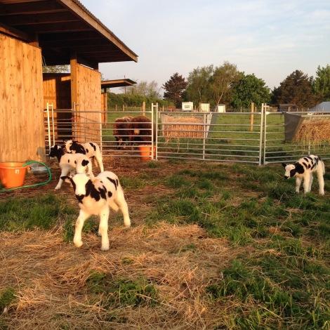 lambs in morning light.jpg