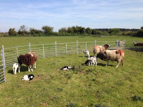Lambs outside