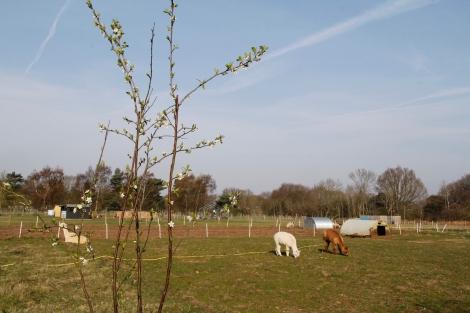 blossom and alpacas