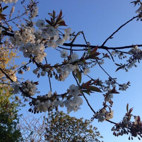 evening cherry blossom