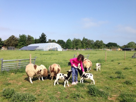 feeding sheep2