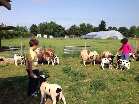 feeding sheep3