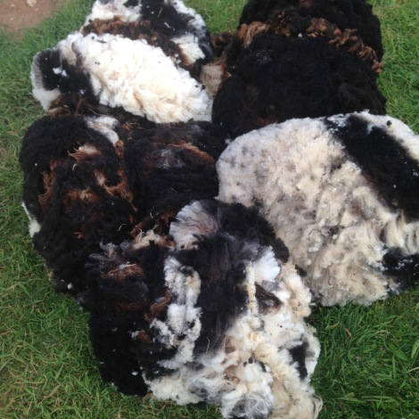 lamb fleeces.jpg