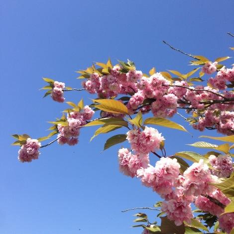 ornamental cherry.jpg