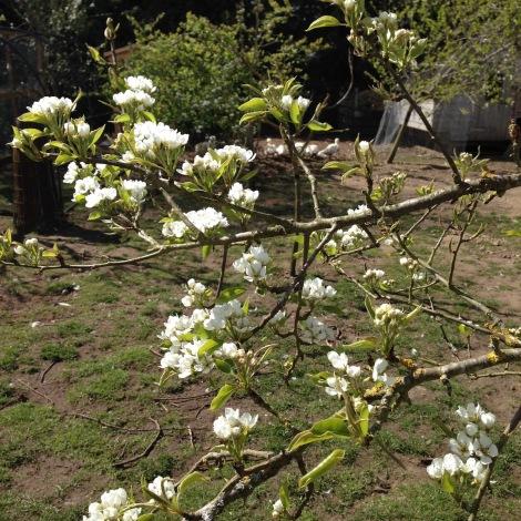 pear blossom.jpg