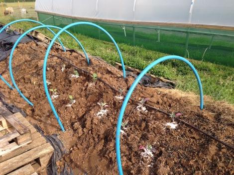 planted brassicas.jpg
