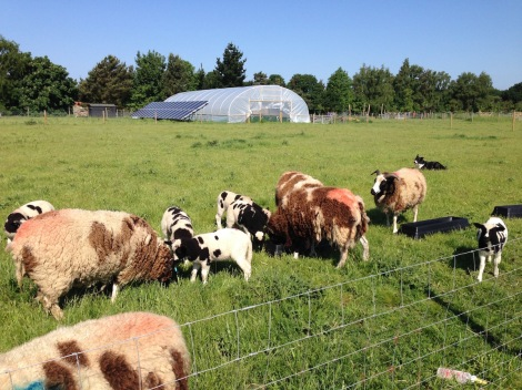 sheep and polytunnel