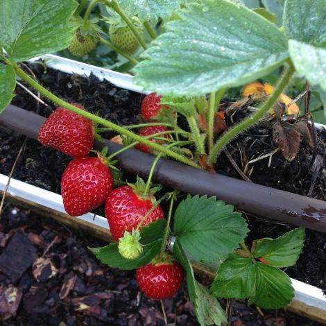 strawberries in gutter
