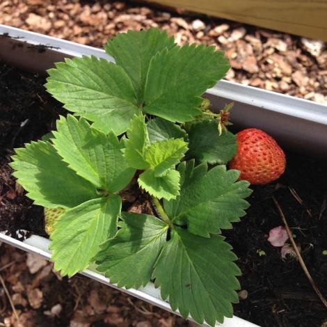 strawberry in gutter2.jpg