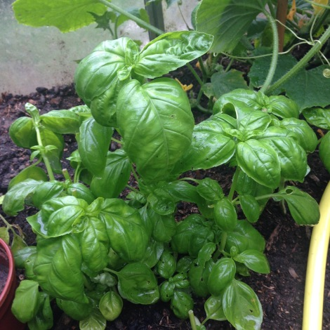 basil in greenhouse.jpg