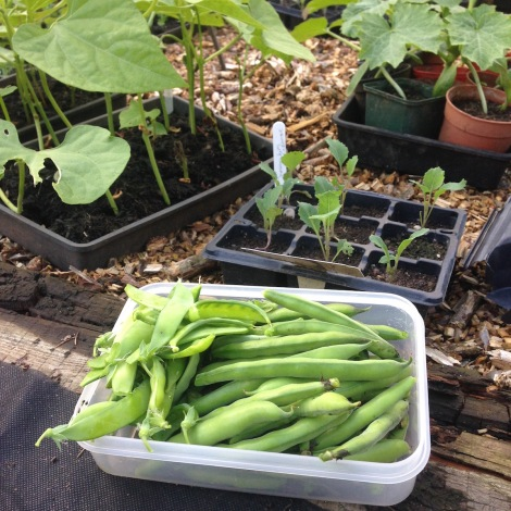 broad beans and mangetout.jpg