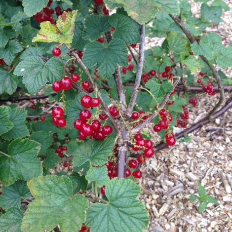 Currant bush.jpg