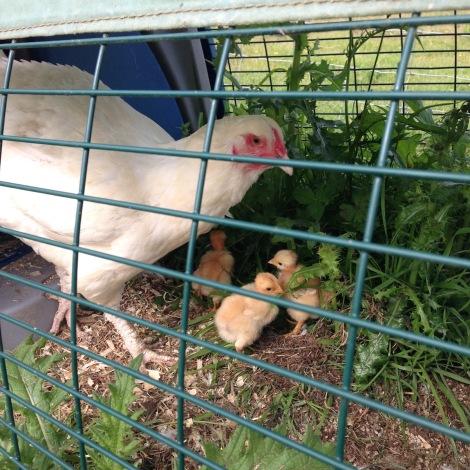 hen and chicks.jpg