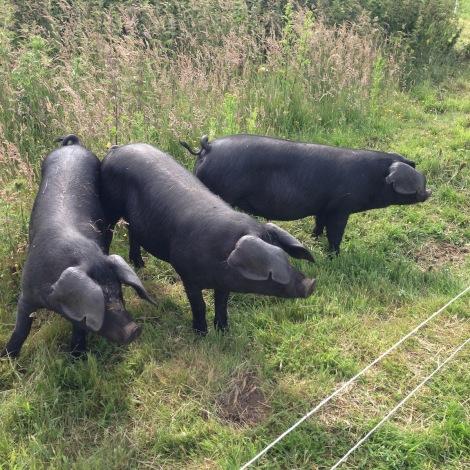 new pigs.jpg
