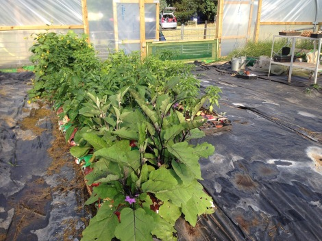 crops in polytunnel