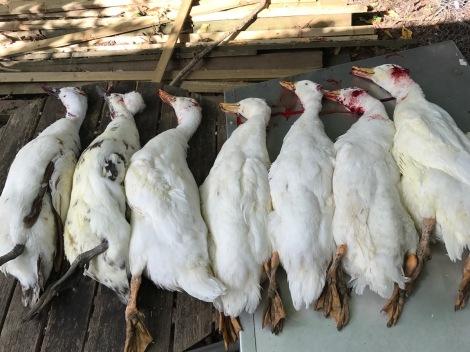 dead ducks.jpg