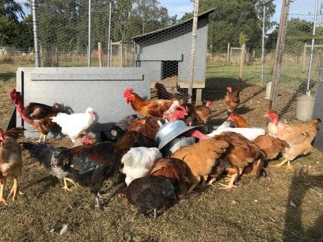 Hatched hens2.jpg