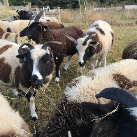 Last year's lambs.jpg