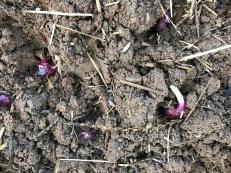 planting-onions