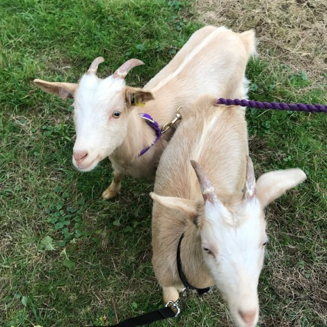 taking goats for a walk.jpg