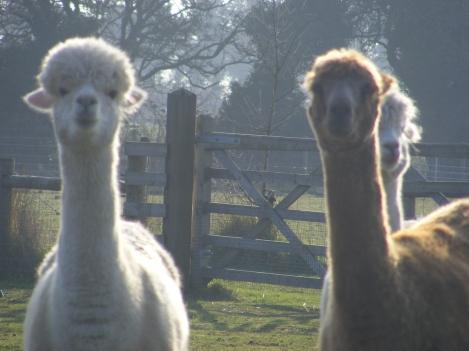 alpacas3