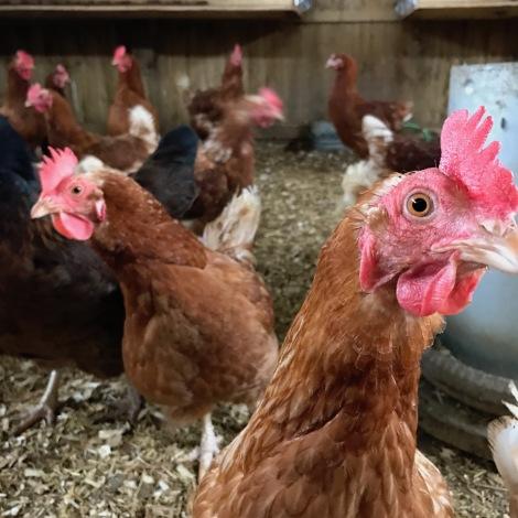 new hens.jpg