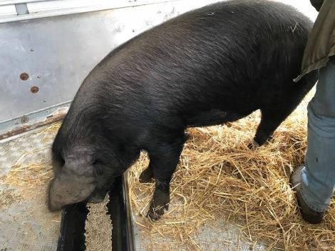 one pig.jpg