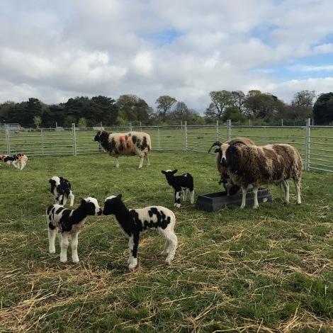 lambs and ewes.jpg