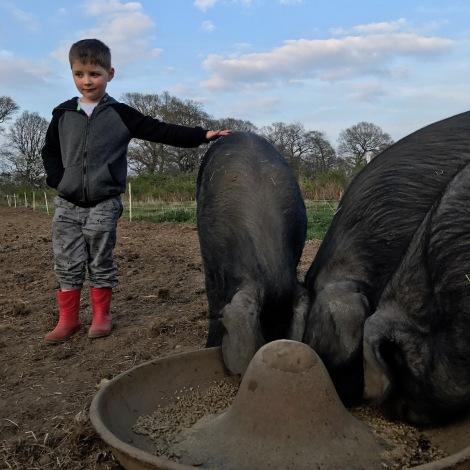 pig feeding.jpg