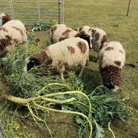brassicas and sheep.jpg