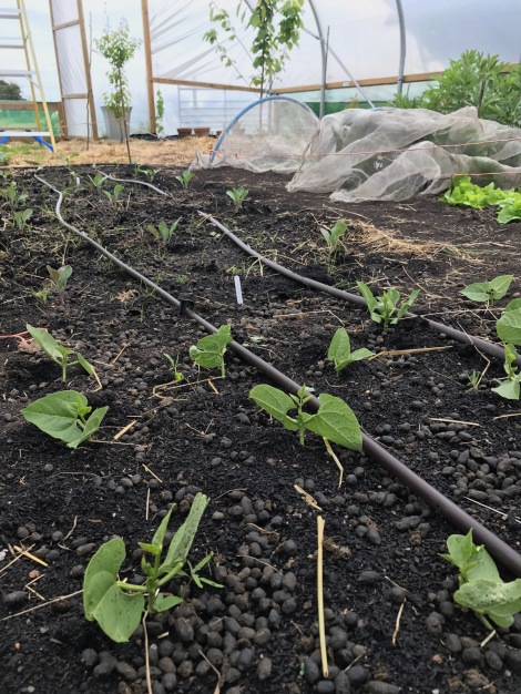 French beans and brassicas.jpg