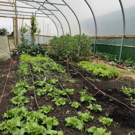 lettuce and broadbeans.jpg