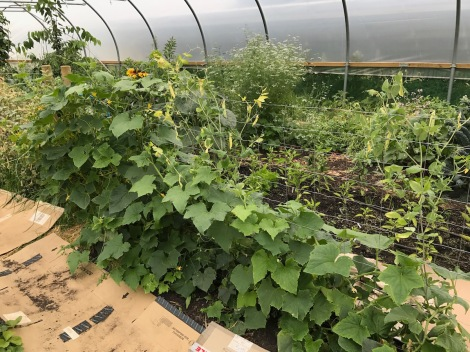 cucumber plants.jpg
