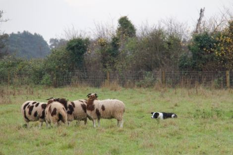 Daisy and sheep6.JPG