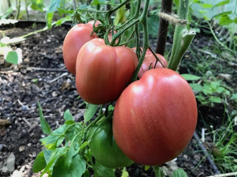 greenhouse tomatoes.jpg